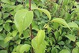 Japanische Kornelkirsche, Japanische Heckenkirsche - starke Pflanze im grossen 5L Topf