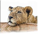 Pixxprint junger Löwe schläft auf Leinwand, XXL riesige Bilder fertig gerahmt mit Keilrahmen, Kunstdruck auf Wandbild mit Rahmen, günstiger als Gemälde oder Ölbild, kein Poster oder Plakat