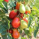 20 Samen Roma Tomate – resistente Buschtomate, aromatisch, süß