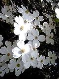 Cornus florida - (Amerikanischer Blumenhartriegel)- Containerware 40-60 cm