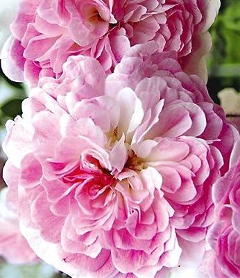 BALDUR-Garten Rambler-Rosen 'Paul's Himalayan Musk Rambler', 1 Pflanze von Baldur-Garten - Du und dein Garten