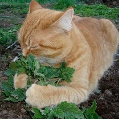 DeYL Semillas Plantas Las Semillas A Granel 50Pcs del Gato del Catnip Menta Aromática Planta de la Hierba Medicinal Orgánico Raros - 50Pcs Semillas de Hierba Gatera ^