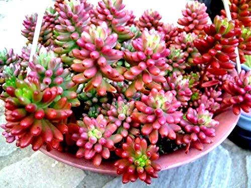 "PLAT FIRM GERMINATIONSAMEN: Sukkulente lebende Pflanze - Sedum Aurora""Jelly Bean Plant"" 10 Blätter zur Vermehrung"