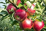 #10: Siam Garden Live Apple Fruit Plant 3 Feet Height Plant 2 Plants