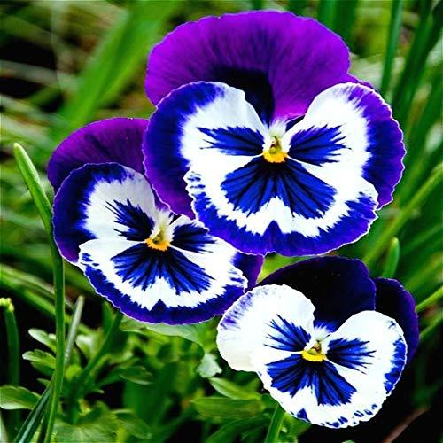 Shopmeeko vendita calda 200 pz/lotto piante viola raro mini piante da giardino fiori bonsai pianta erbacea perenne viola * matthiola incana semente: marrone