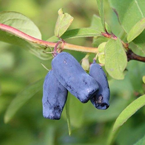 Grüner Garten Shop Sibirische Blaubeere, Myberry Sweet (R) Lonicera kamtschatica, viel Vitamin C, ca. 40-60 cm,3,5 L Topf