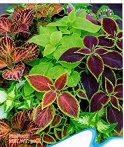 30 graines coleus rainbow home mix jardin heirloom fleur. Black Bedroom Furniture Sets. Home Design Ideas