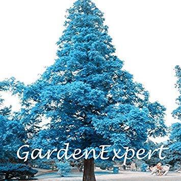 Pine Tree Garden Seeds (Virtue 100pcs Blue Japanese Pine Tree Seeds Pinus Thunbergii Seeds Bonsai Seeds Large Tree DIY Home Garden)