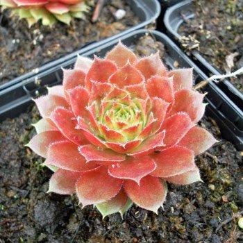 Hauswurz 'Rubin' - Sempervivum x hybridum 'Rubin' 25-30 pro m , von Gartengruen24 - Du und dein Garten