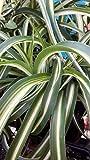 CHLOROPHYTUM VARIEGATUM AIR Purifier 'Spider Plant' Must Have House Plant in 7CM Pot