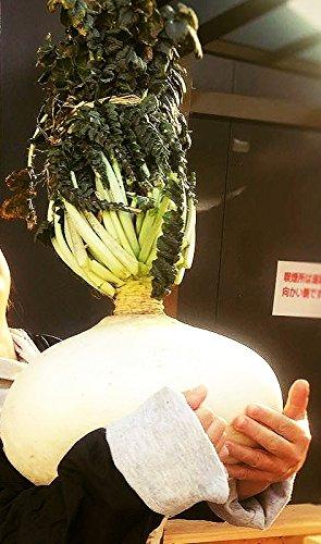 10 Sakurajima Radieschen Samen, größte Radieschensorte der Welt, bis 45 kg möglich