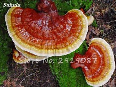 Nouveau 50 Pcs Ganoderma Graines Reishi Champignons Graines Graines de légumes biologiques pour jardin plantes non Ogm 11