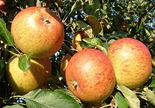 Malus domesica 'Cox Orange' Apfelbaum als Terrassen Obstbaum 40cm Stammhöhe