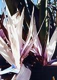 TROPICA - Baumstrelitzie (Strelitzia alba) - 7 Samen