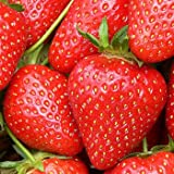 Swanley Village Nursery 5 X Strawberry Plants Bare Rooted Malling Opel