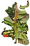 Musa Sikkimensis, Rote Tigerbanane, 8 frische Samen, winterhart, essb. Früchte!
