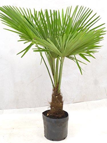 Trachycarpus fortunei - Chin. Hanfpalme 150 cm - Stamm 30 cm - Winterhart -17°C