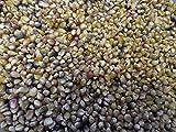 PLAT FIRM GERMINATIONSAMEN: Glass Gem Corn Seeds 2017 Tennessee Grown Quarter Pound 4 Unzen
