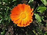 Ringelblume (Bio-Saatgut) 100 Samen