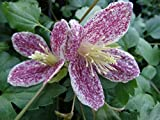 Clematis Freckles evergreen winter & spring flowering grown in 1 litre pot on tripod of canes FREE DELIVERY