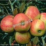 Vom Fachmann veredelte Obstbäume - Obstaum Apfelbaum Elstar Niedrigstamm - 1A Baumschulqualität direkt aus der Baumschule - greenbay 24 (Apfelbaum Elstar Niedrigstamm)