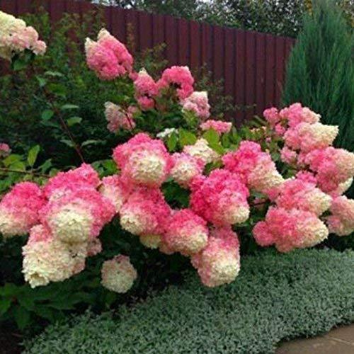 Xianjia Garten - 20 Stück Freiland-Hortensie samen winterhart mehrjährig Blumensamen Bauernhortensie Hydrangea macrophylla Gartenhortensien (1)
