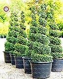 30pcs Weihnachtsbaum Deodar Cedar Samen Himalaya-Zeder Himalaya-Zeder Baumsamen Welt Seltene Bonsai-Baum-Hausgarten Pflanze