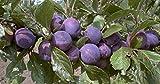 Pflaume Säule Imperial süß-leicht säuerlich 80-100 cm violett-blaues Gartenpflanze Obst 1 Pflanze