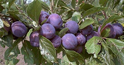 Imperials Obst (Pflaume Säule Imperial süß-leicht säuerlich 80-100 cm violett-blaues Gartenpflanze Obst 1 Pflanze)