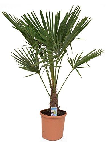 Chinesische Hanfpalme 150-170 cm Stamm 30-40 cm Trachycarpus fortunei