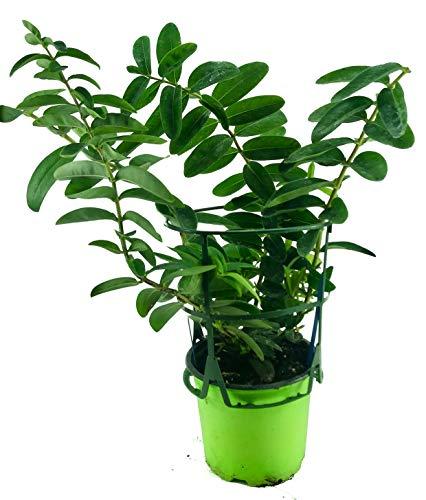 Johanniskraut Senior Pflanze, Hypericum calycinum, Kräuter Pflanze