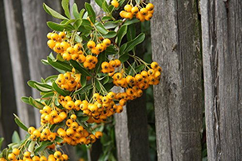 Feuerdorn Pflanze - Pyracantha Orange Glow - Gesamthöhe 100+cm - Stamm 40-50cm Topf Ø 26cm