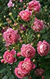 #10: Rare Grafted Apricoat Queen Climbing Rose perinnial Flower 1 Healthy Live Plant