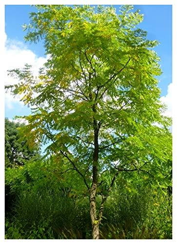 Tropica - Amerikanischer Geweihbaum (Gymnocladus dioicus) - 2 Samen