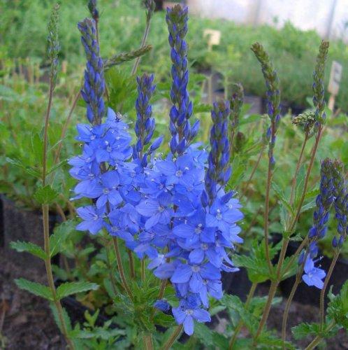 Scheinähriger Blaue Blüten