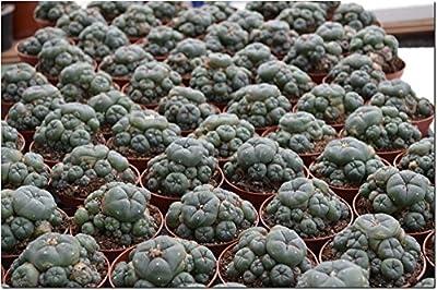 Lophophora williamsii caespitosa ab 8cm blühfähig von lophophora-williamsii.de - Du und dein Garten