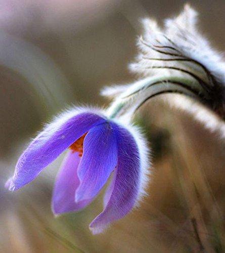 vendita-calda-20-seed-macchia-di-geranio-semi-perenne-fiore-semi-pelargonium-peltatum-semi-17-colori