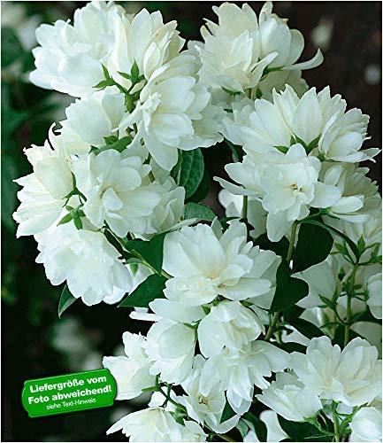BALDUR-Garten Bauern-Jasmin, 1 Pflanze, Philadelphus coronarius Gartenjasmin duftend winterhart Duft-Jasmin
