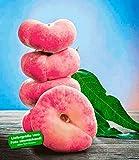 BALDUR-Garten Teller-Pfirsich PlatiforTWO, Pfirsichbaum 1 Pflanze, Prunus persica