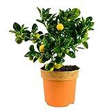 Choice of Green -1 calamondino Camera Orange-pianta della stanza nel coltivatore POT ?14 cm-altezza ? 35 cm