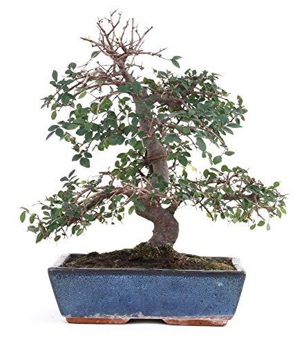 Bonsai – Zelkova parvifolia, Ulmus, Chinesische Ulme 196/45