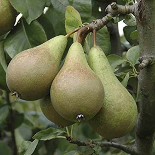 conference-pear-patio-fruit-tree-bare-root-12m-tall