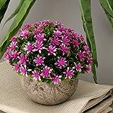 Fenteer Künstliche Gypsophila Bonsai Pflanzen im Topf Kunstpflanze Dekopflanzen Topfpflanzen - Lila - 7