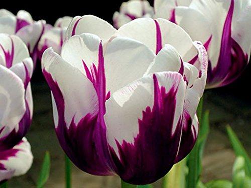 garthwaite-nurseriesr-10-rems-favourite-triumph-tulip-bulbs-stunning-bi-coloured-garden-spring-peren