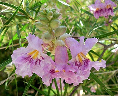 Bio-Saatgut Nicht nur Pflanzen: 2400 Seeds: Desert Willow, Chilopsis linearis, Samen (Fast 100 Seeds Fragrant) mit der Faehre -