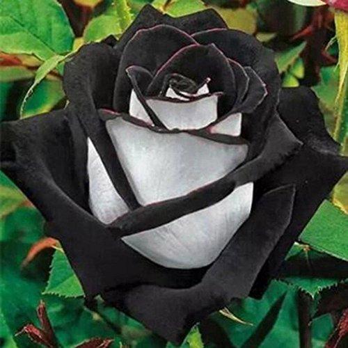 mymotto 50Pcs/Sac Graines de Rose Rare Fleurs,Floraison Minuit Plantes Bonsaï D'intérieur/Jardin (Noir+blanc)