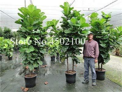 bloom green co. 50 pz colorful ficus lyrata bonsai, coperta in vaso balcone banyan tree foglia bonsai garden piantare, anti-radiazioni, purificare l'aria: 4