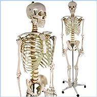 Jago - Modelo anatómico esqueleto humano aprox. 181 cm, incluye soporte, funda de protección y póster didáctico