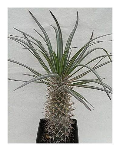 Pachypodium mikea - Madagaskar - Palme - 3 Samen