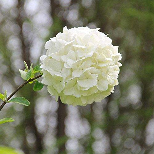 KAYI Hortensia Macrophylla Graines De Fleurs Jardin Des Plantes Bonsaï Blanc Rose Rouge Bleu 50 Pièces Accueil Ornemental